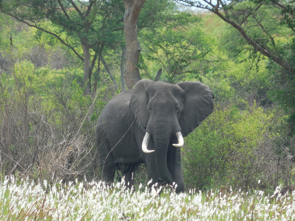 Bull Elephant, Queen Elizabeth National Park, Uganda © Flyga Twiga LLC