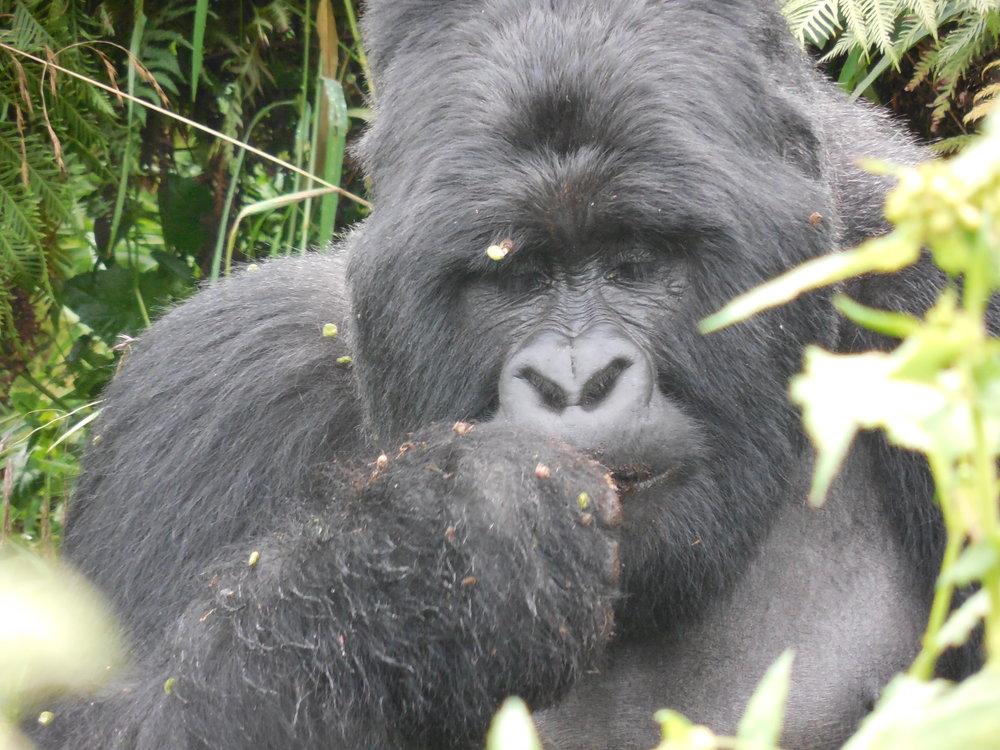 Gorilla Mgahinga Gorilla National Park Uganda © Flyga Twiga LLC