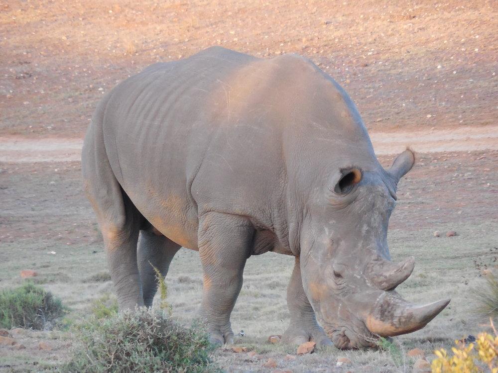 Rhino GRGL ©Flyga Twiga LLC