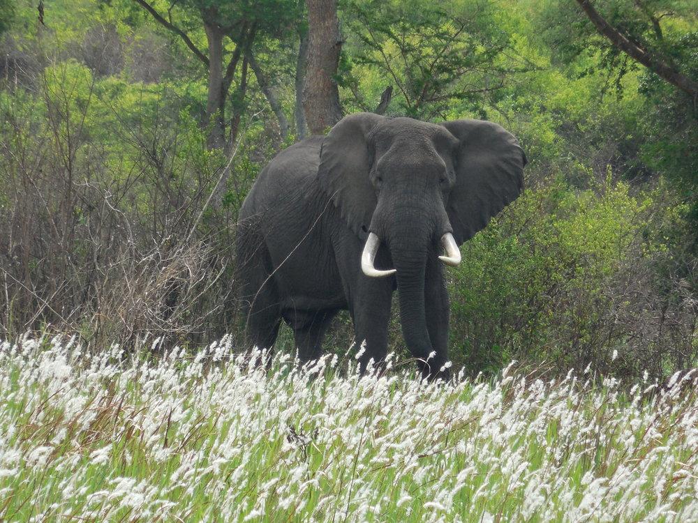 Elephant Uganda 2017 © Flyga Twiga LLC