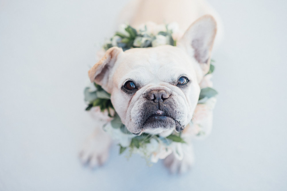 Cream French Bulldog wearing flower collars by San Diego florist, Compass Floral // Eva Lin Photography