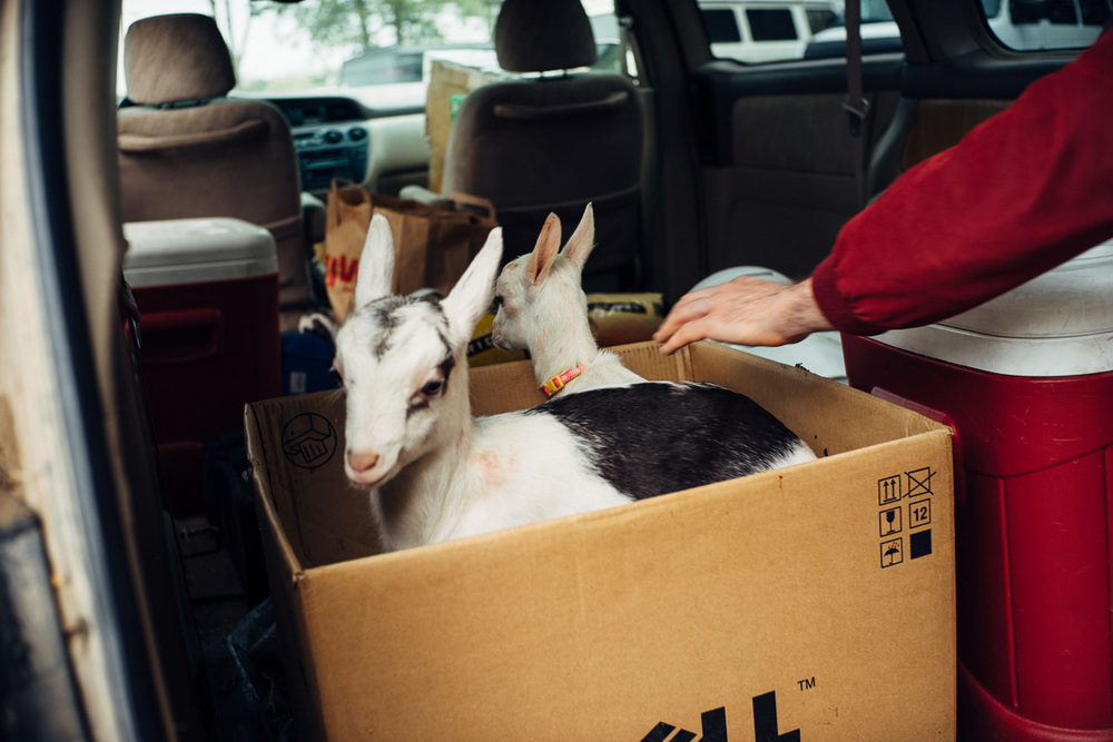 Baby goats on their way to an elementary school class