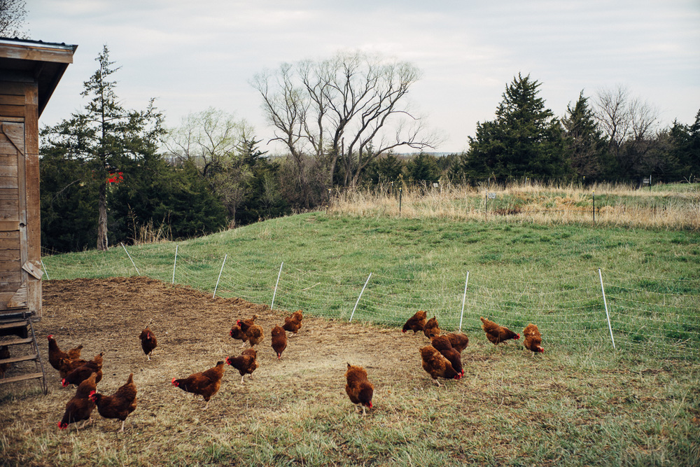 Common Good rotates their chickens every few weeks for better forage