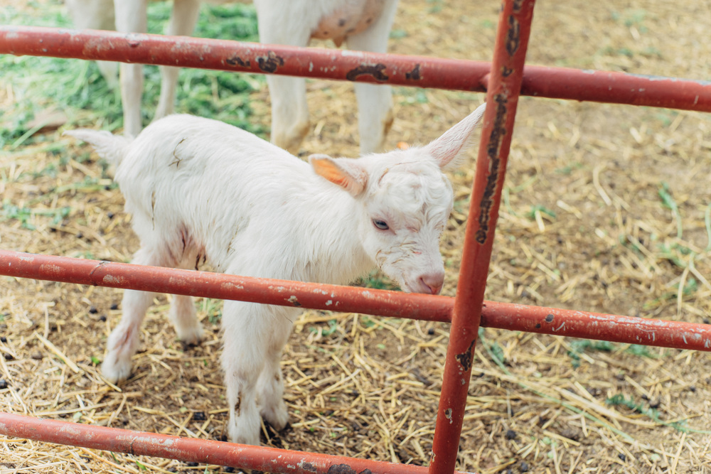 A baby goat at Shadowbrook Farm, just six miles from our store