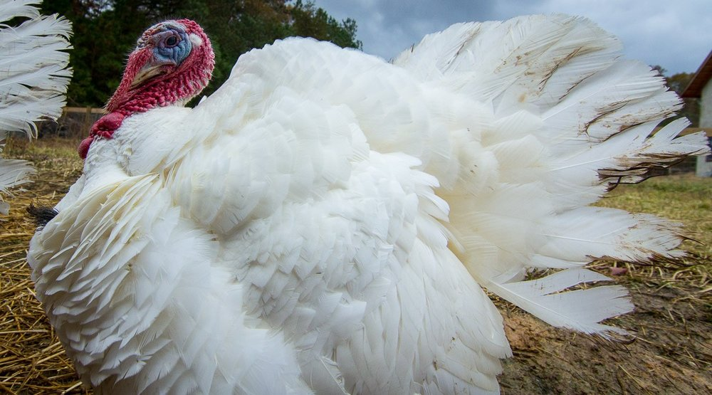 Broad-Breasted White Turkeys - AVAILABLE NOWPrairie Oaks FarmWest Point, NELocal, Free Range12-14 lbs.