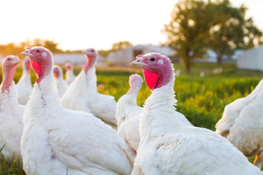 Free Range Turkeys - Ferndale Market Cannon Falls, MNFree Range, Antibiotic-Free12-14 lbs.14-16 lbs.