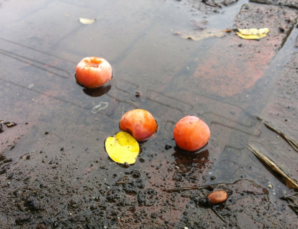 Ripe persimmons after a rainfall, which is actually the best time to go and gather them.