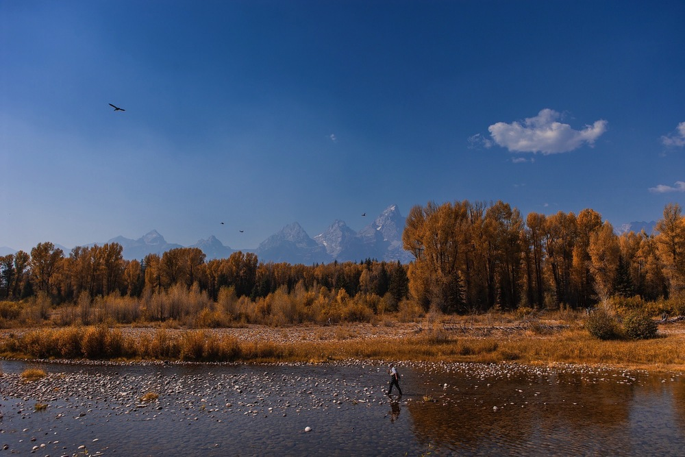 An autumn angler walking the Snake River alone in Grand Teton National Park, Wyoming, as hopeful, scavenging birds circle overhead.