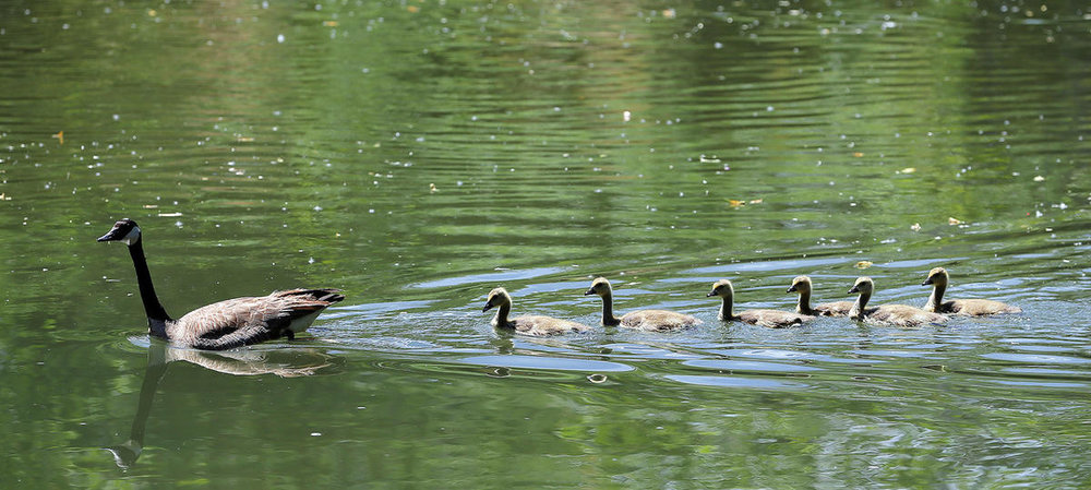 A goose and her goslings swim in the Jordan River at the Three Creeks Confluence. Photo: Scott G Winterton, Deseret News.