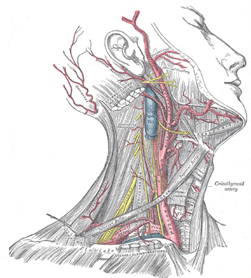 Arteries of the neck.