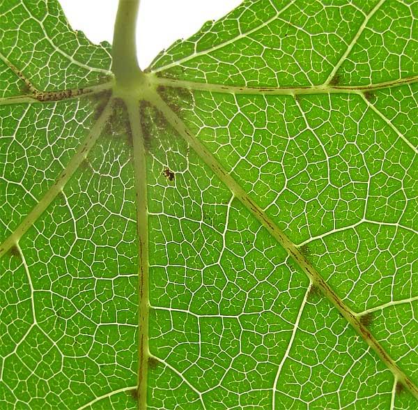"leaf veins or ""vascular bundles"""