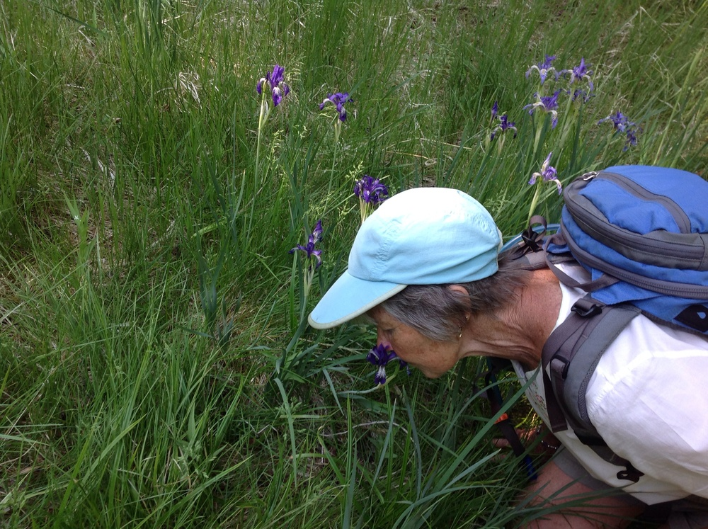 Jeep Lindsay uses her nose to connect with Eastern Sierra Wild Irises - June 2014.