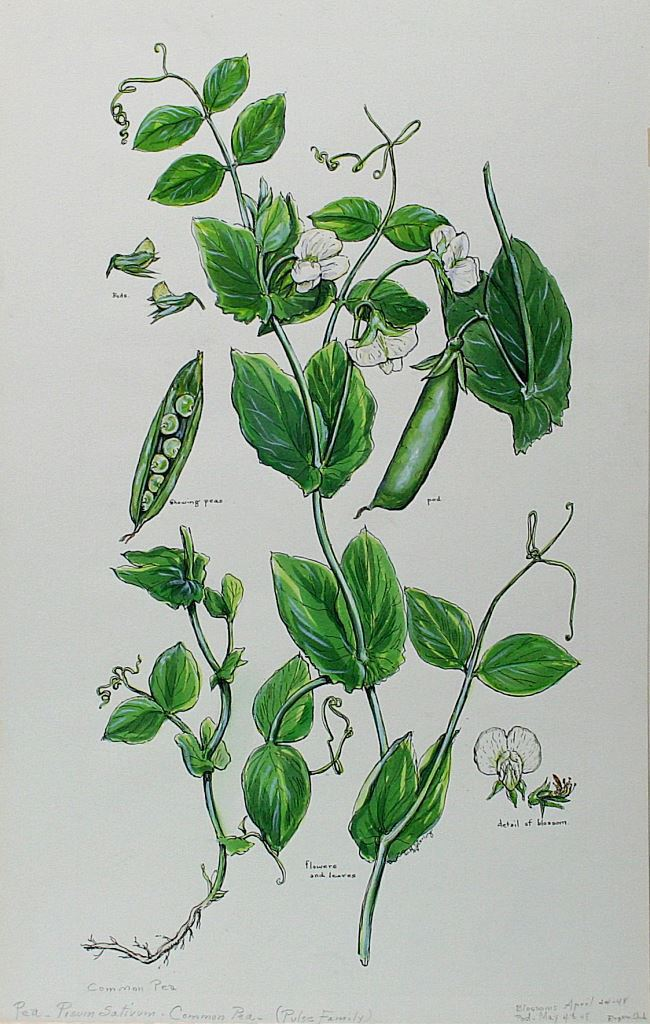 Common Pea