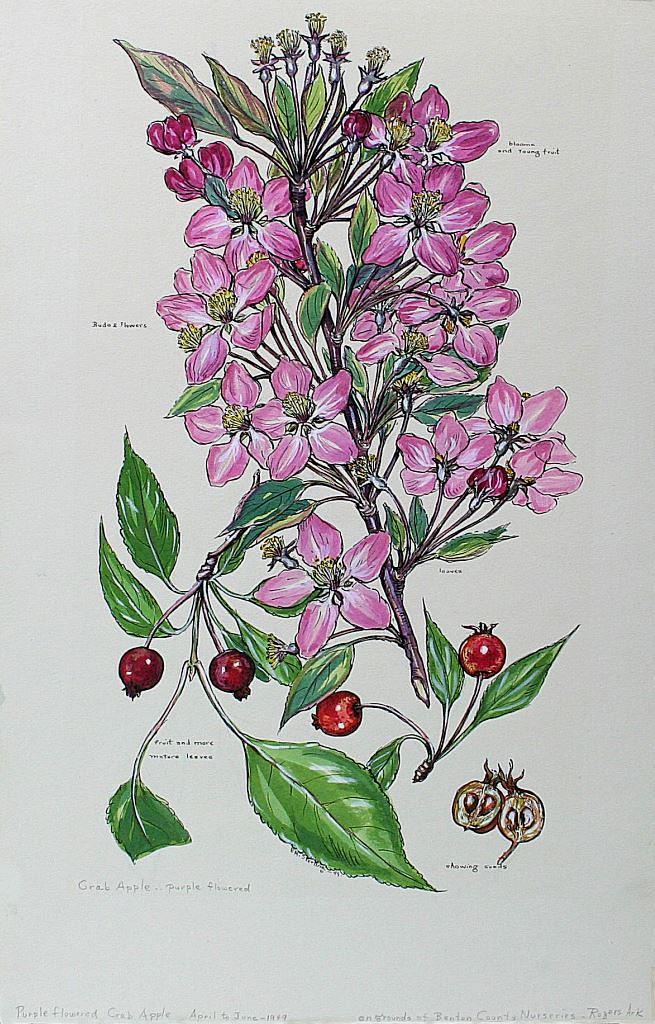Purple flowered Crabapple