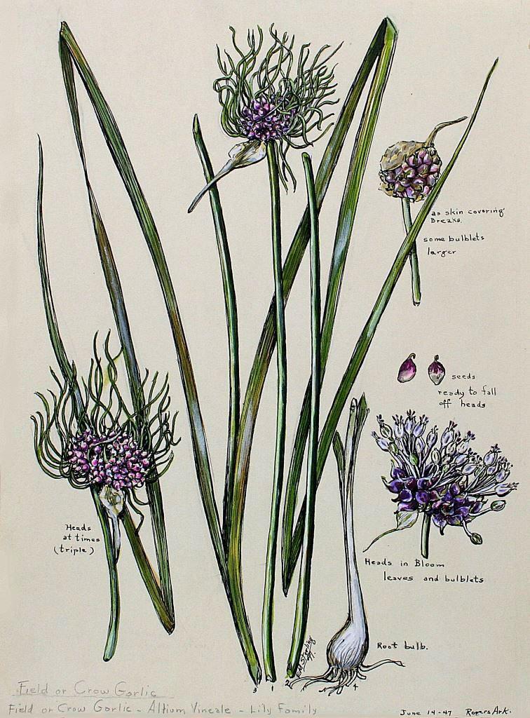 Field Garlic
