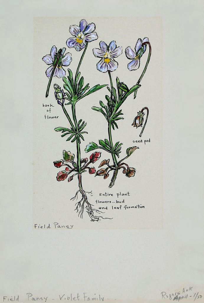 Field Pansy