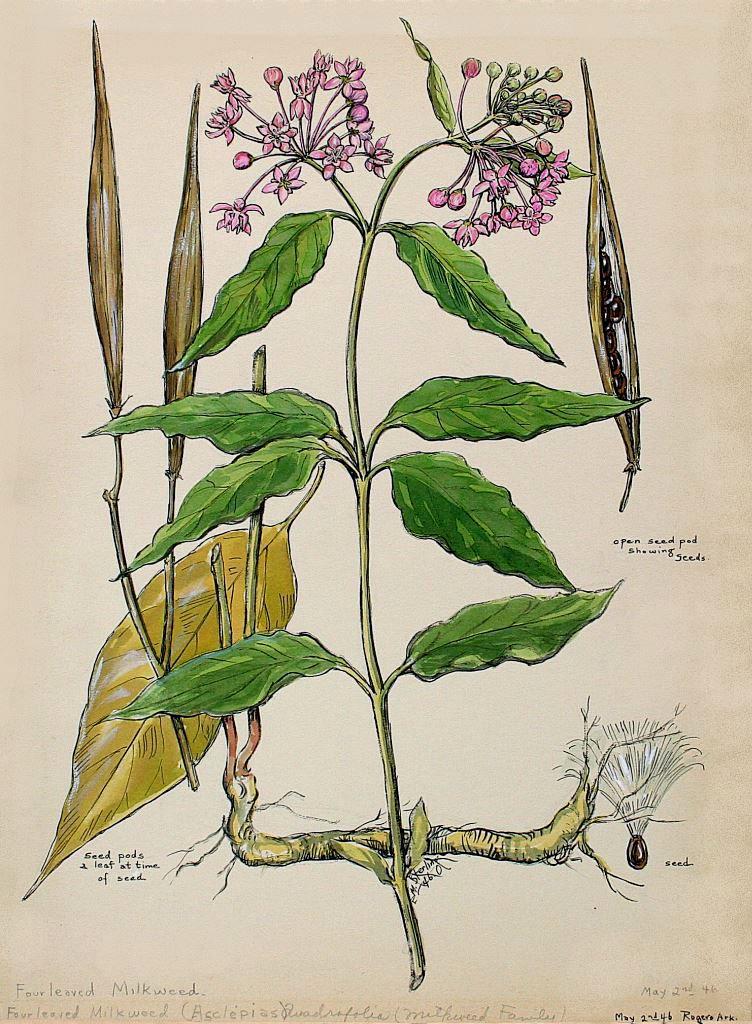 Four-leaved Milkweed