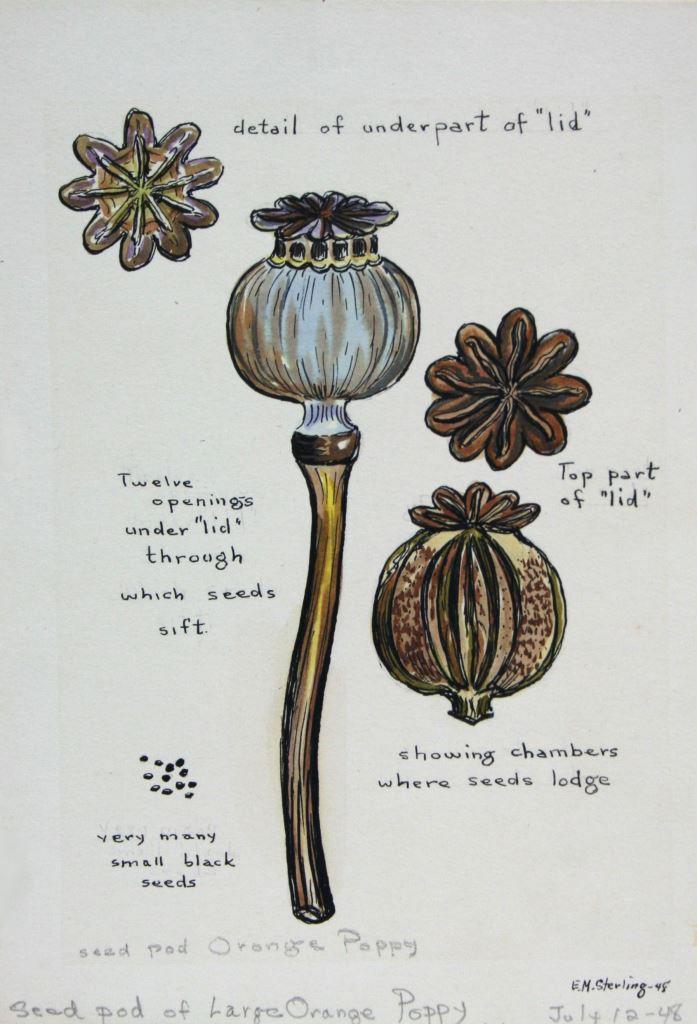 Seed Pod of Large Orange Poppy