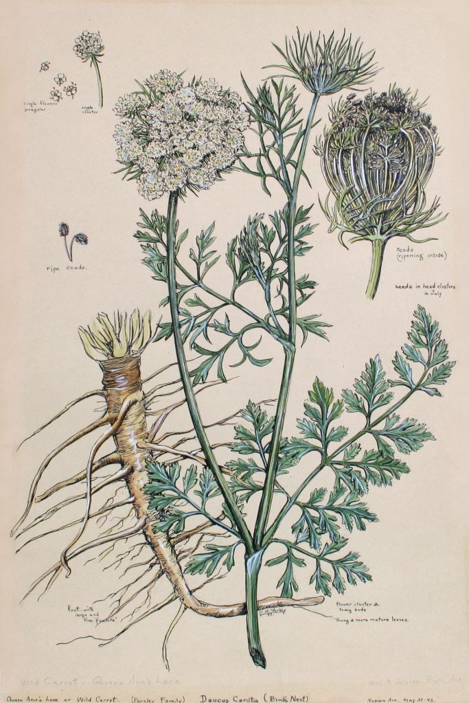 Wild Carrot--Queen Anne's Lace