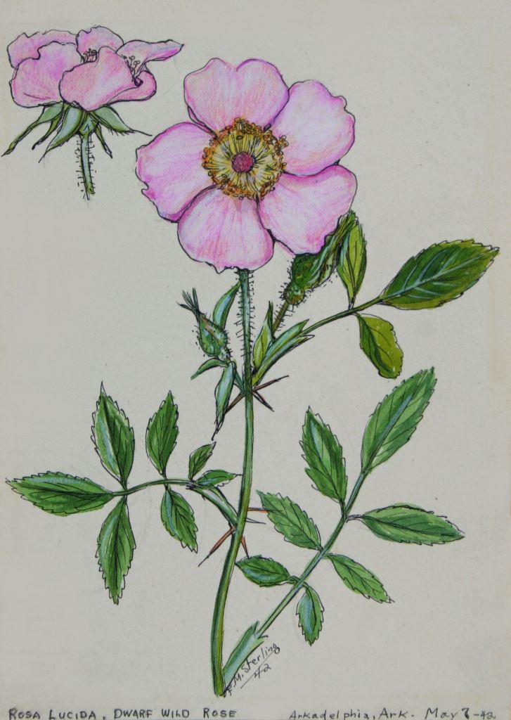 Dwarf Wild Rose