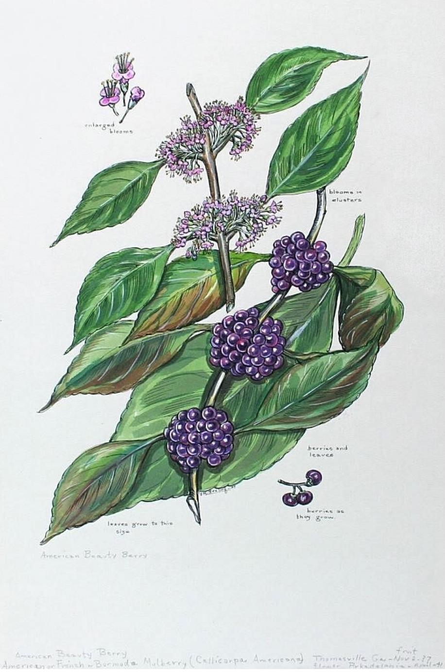 American Beauty Berry