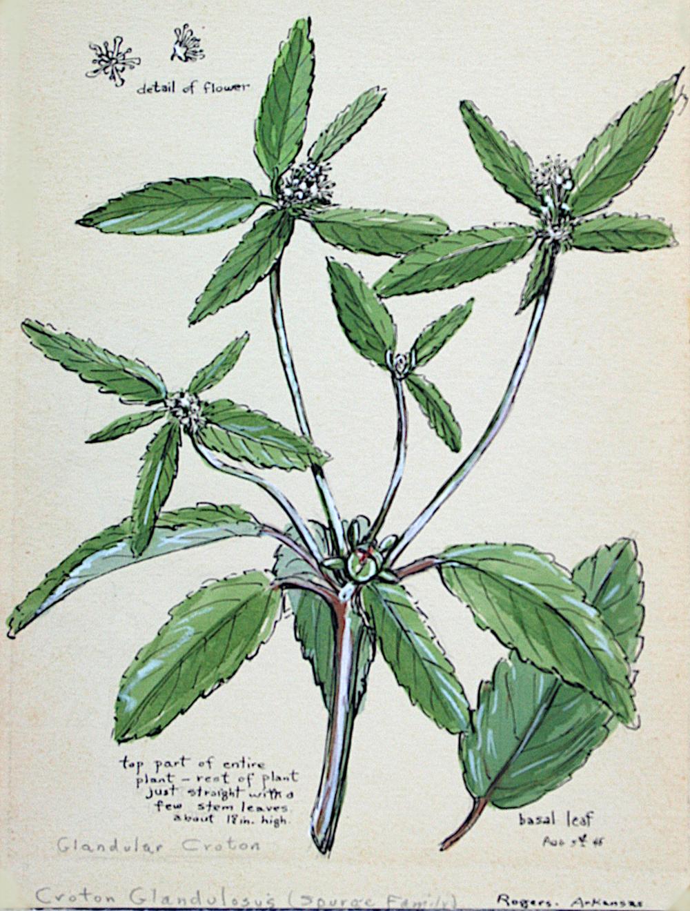 Glandular Croton