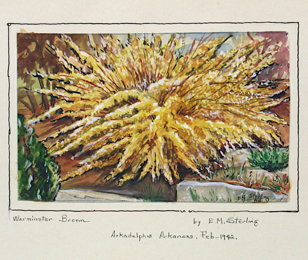 Warminster Broom