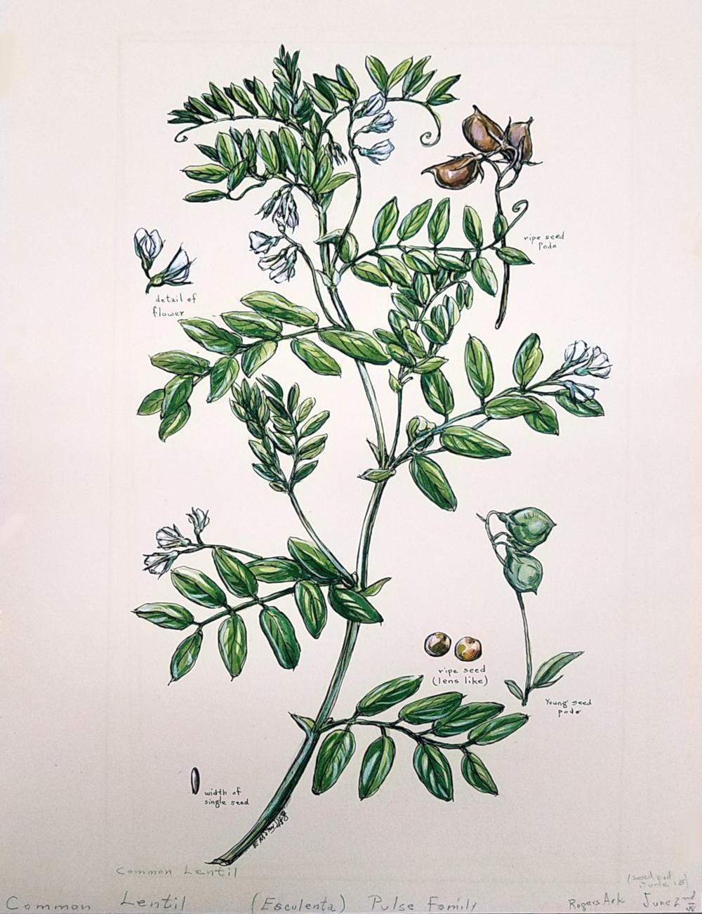 Common Lentil