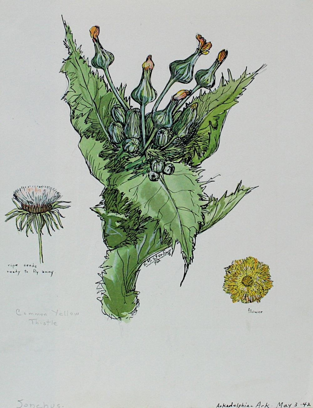 Common Yellow Thistle