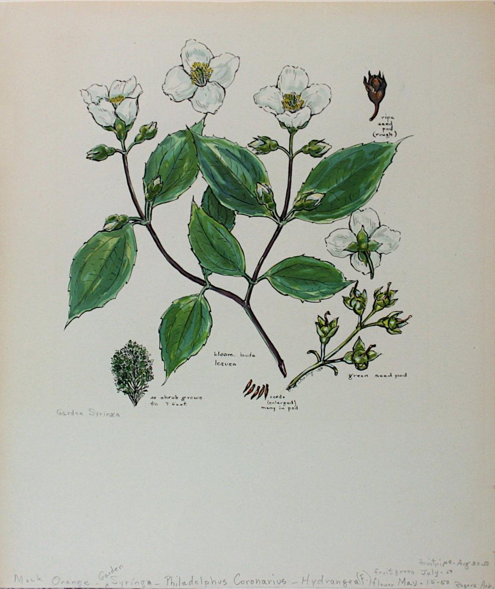 Garden Syringa
