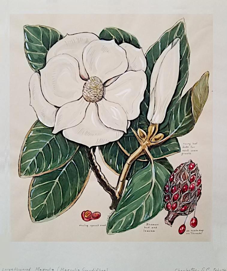 Large Flowered Magnolia
