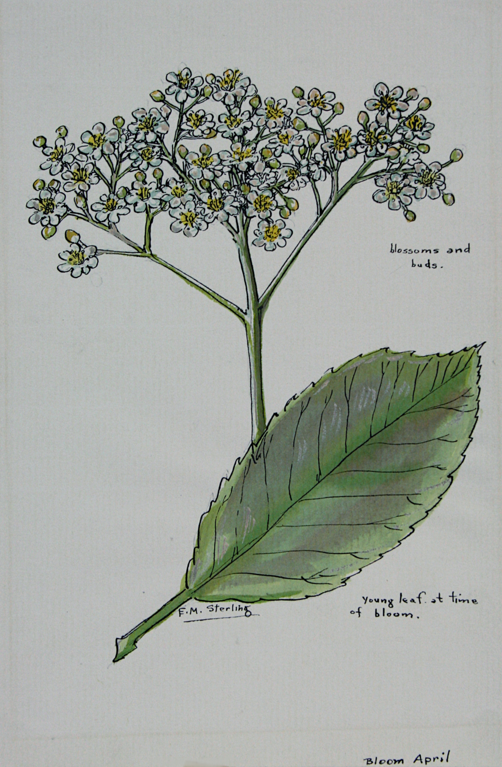 Photinia in Bloom - April