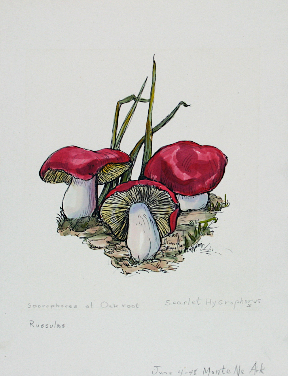 Sporophores at Oak Root