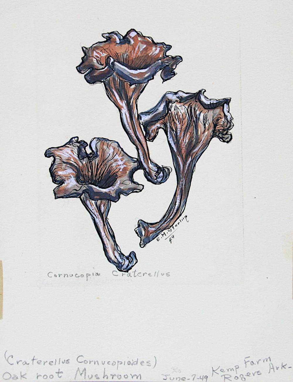 Oak Root Mushroom