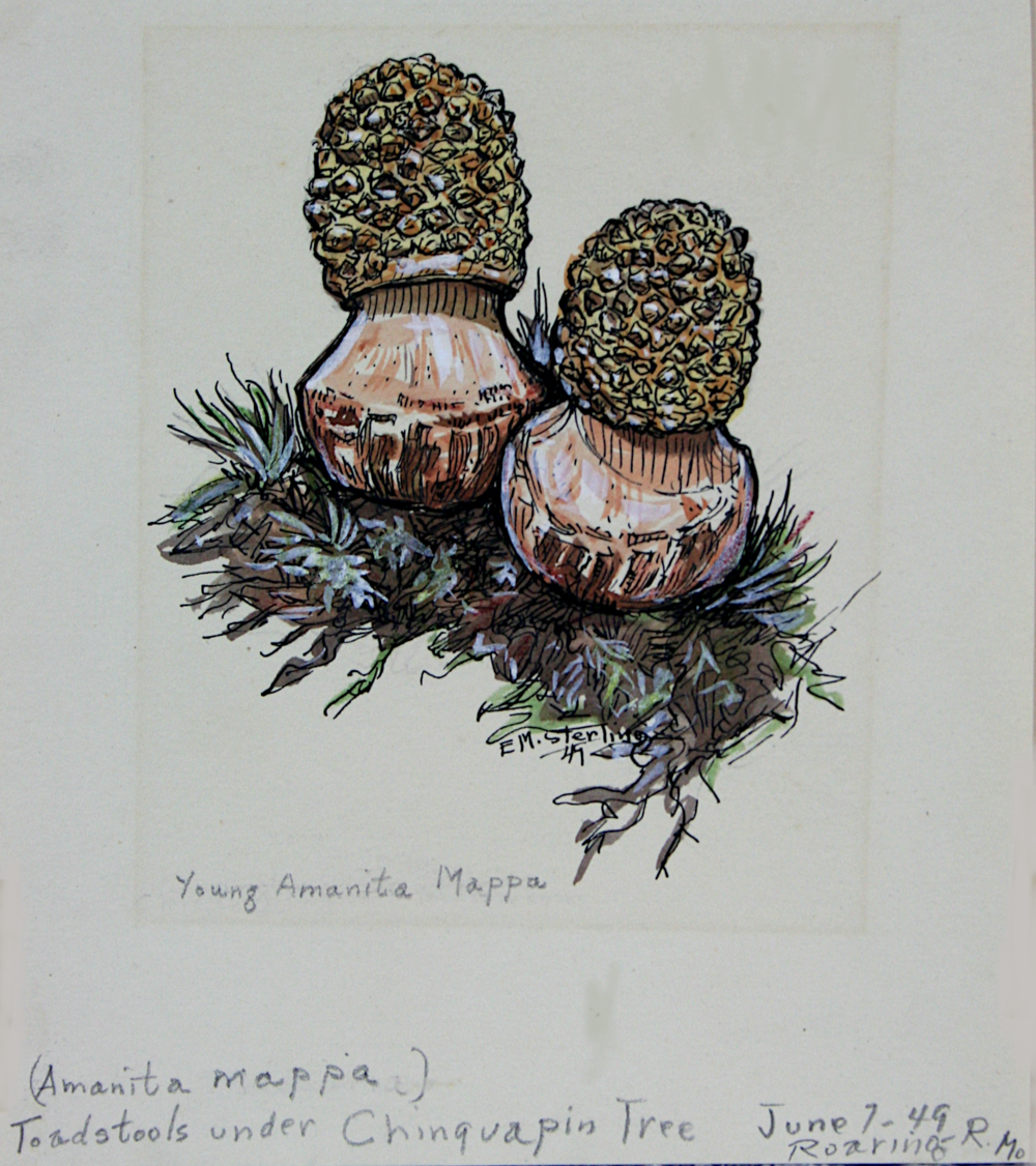 Young Amanita Mappa