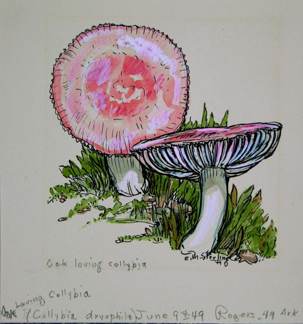Oak-loving Collybia
