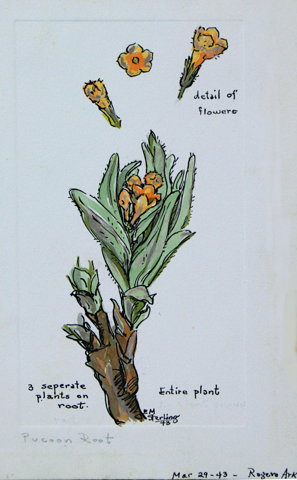 Puccoon Root