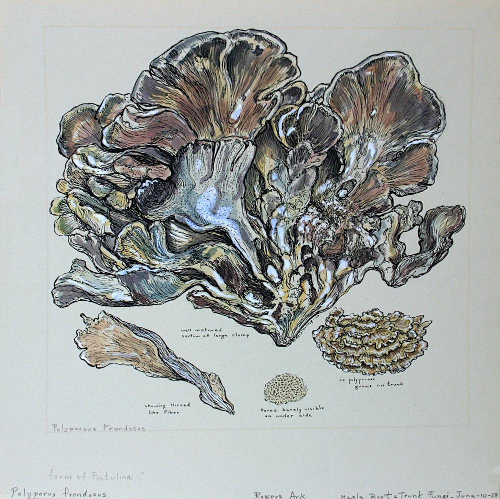 Maple Root Trunk Fungi