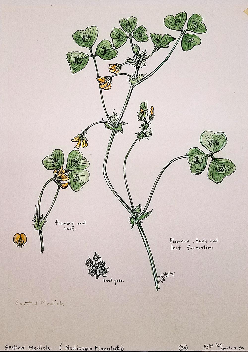 Spotted Medick (medicago maculata)  Elsie Mistie Sterling  ASC 86.001.169