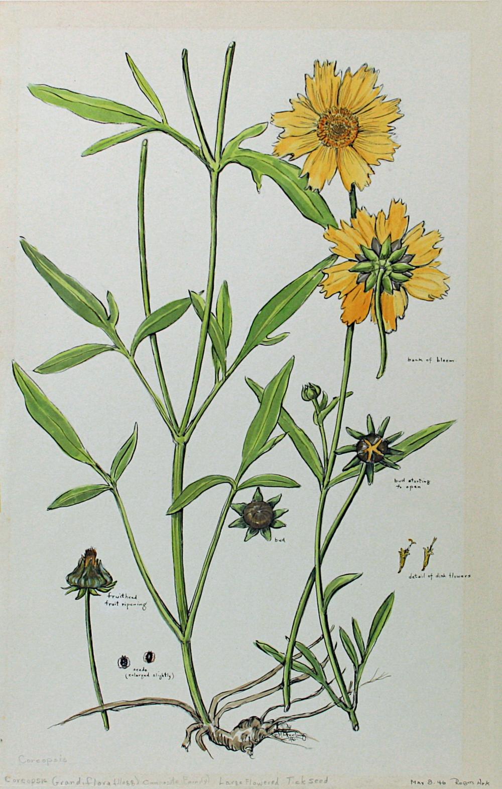 Large-Flowered Tickseed