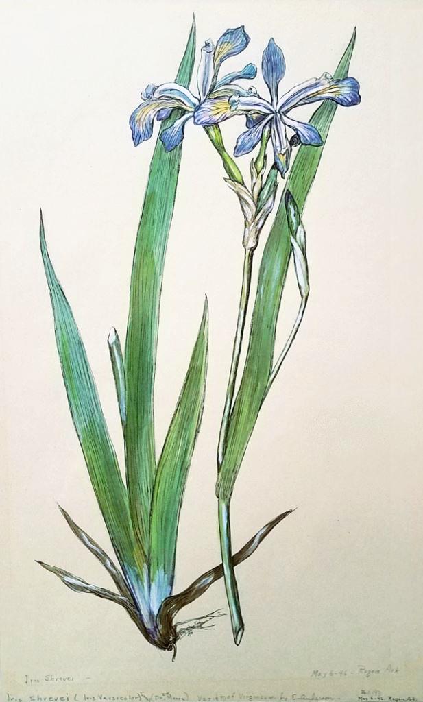 Iris Shrevei