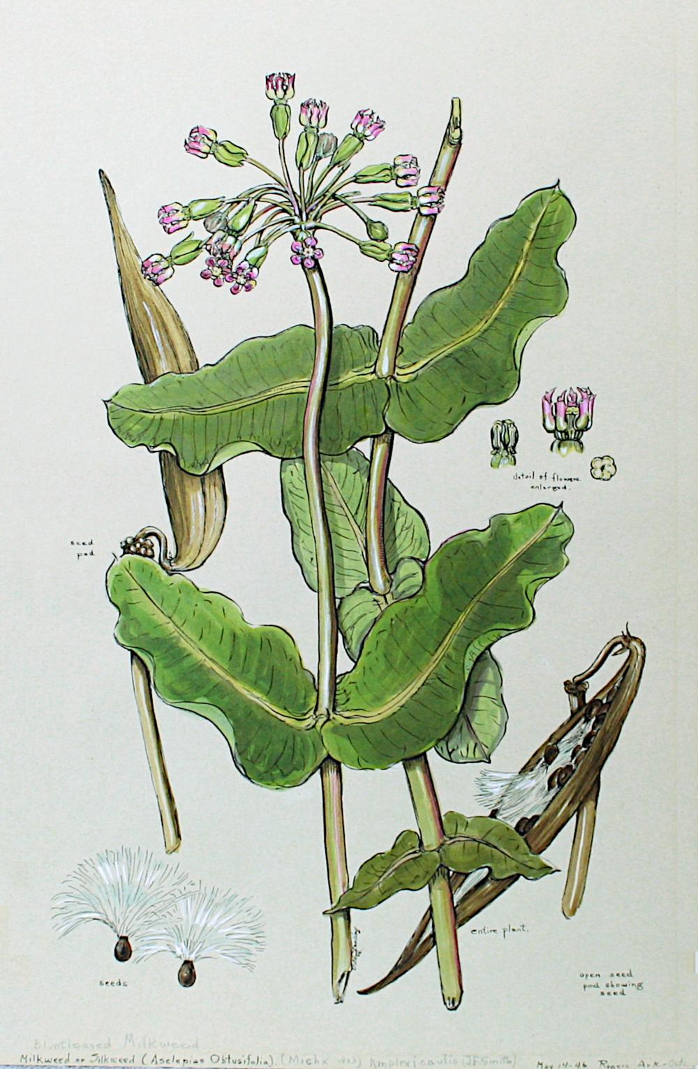 Blunt-Leaved Milkweed