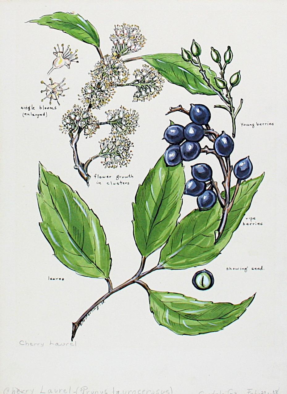 Cherry Laurel