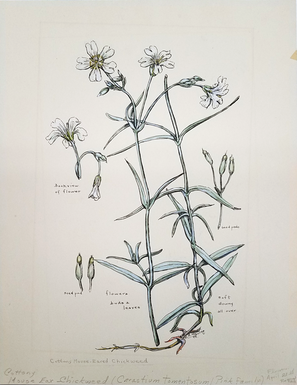 Common Mouse-Eared Chickweed