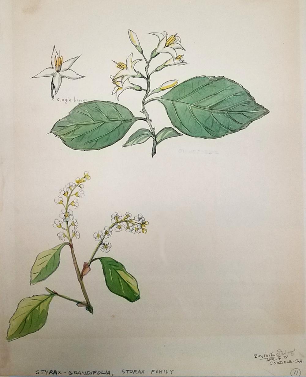 Styrax Grandiflora