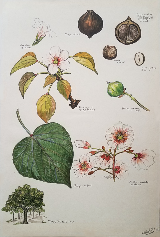 Tung Oil Nut Tree