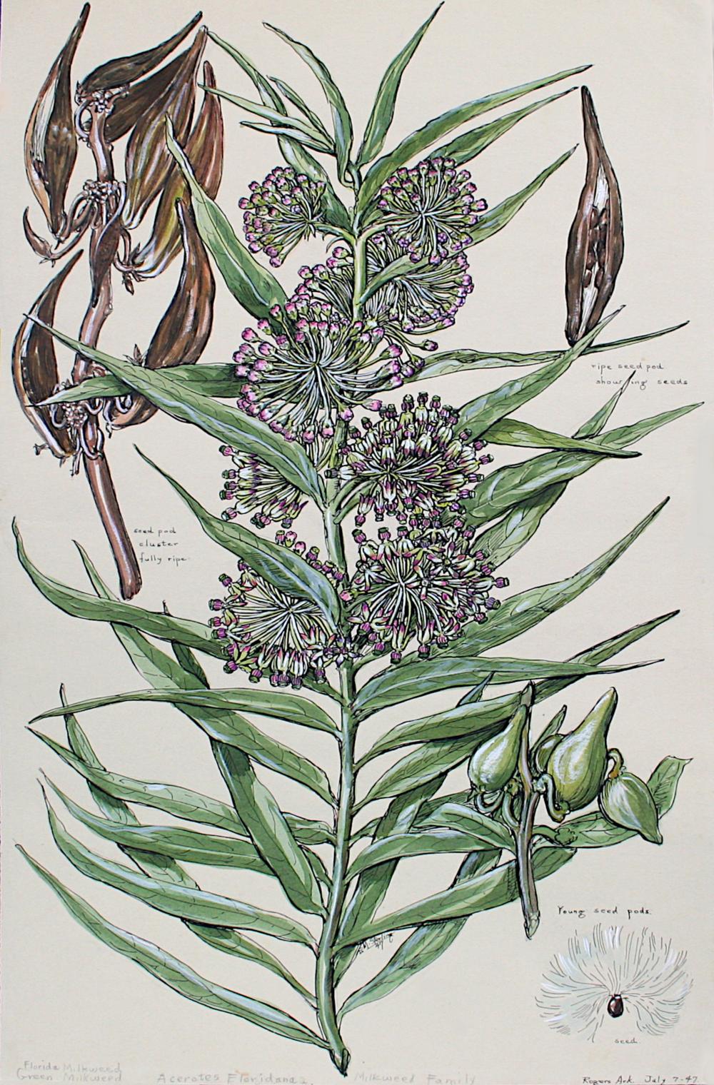 Florida Milkweed
