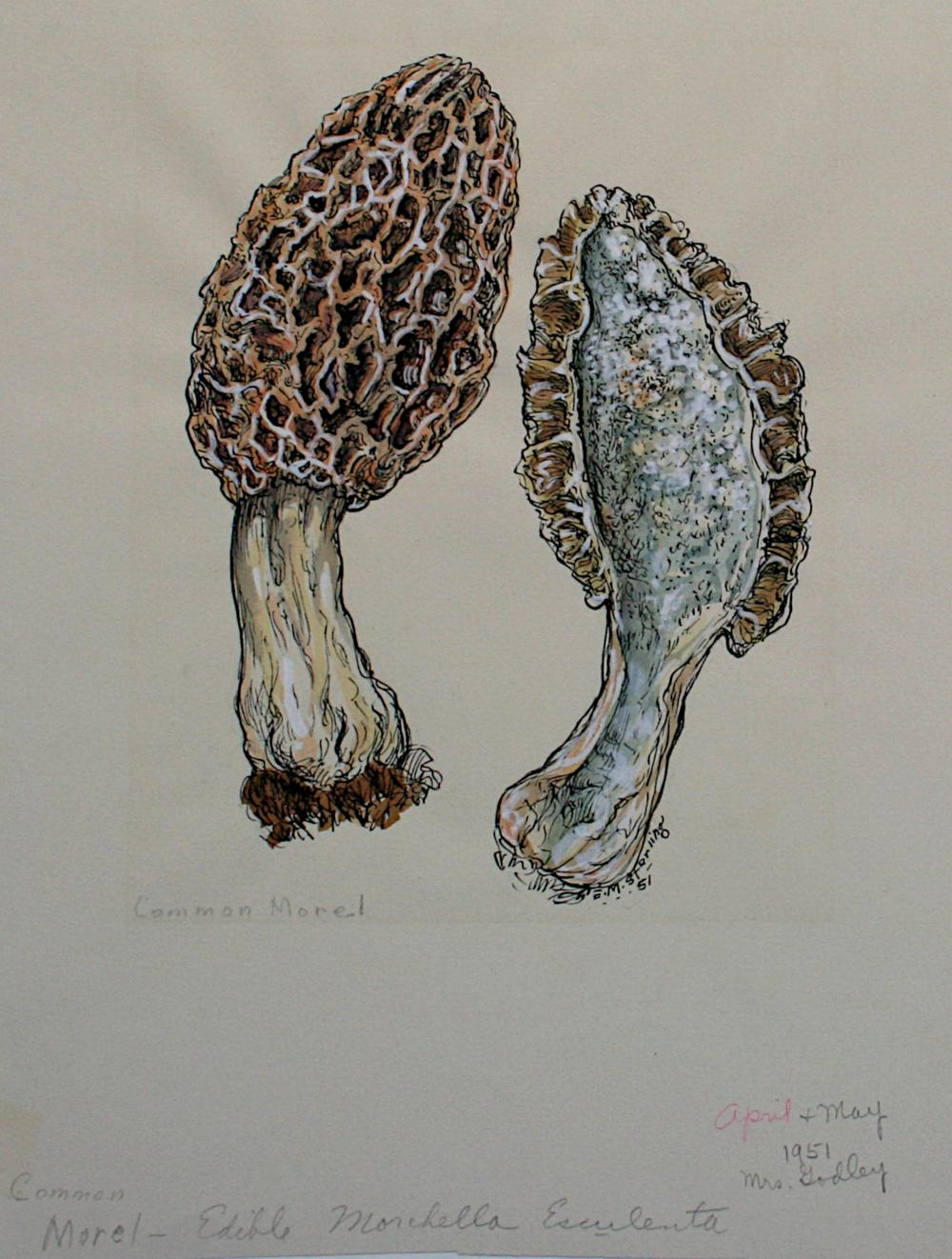Common Morel