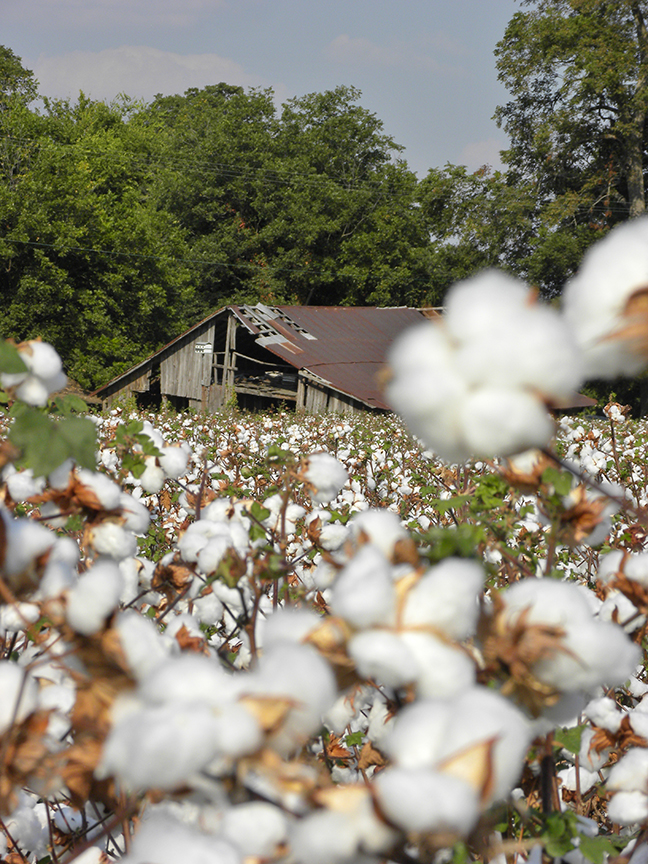 Nancy Abernathy,  Cotton's Ready , 2010