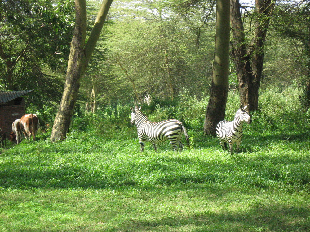 zebras walking through the retreat